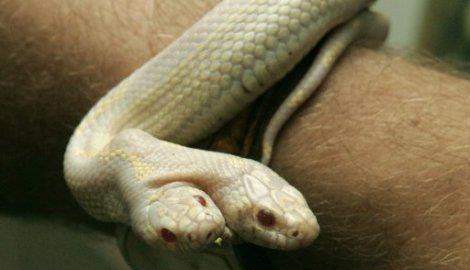 Uročen krvljom dvoglave zmije